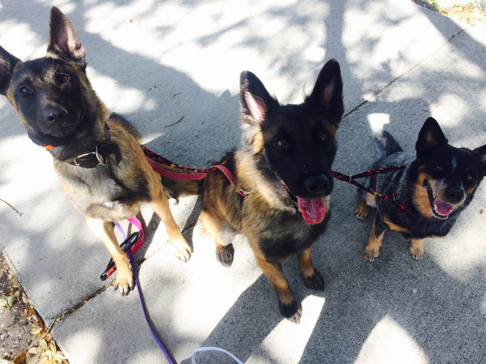 Dogs out for a walk
